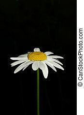Ox Eye Daisy - An ox eye daisy set against a black...