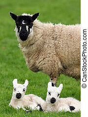Mother Sheep and Twin Lambs - A sheep standing in a field in...