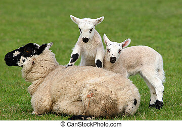 Mother and Babies - Sheep lying down in a field in spring...