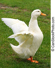 Flapping Wings - A duck standing on the grass and flapping...