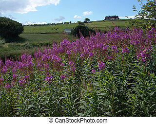 Fireweed and distant farm