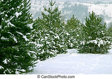 Christmas Trees 1 - Natural Christmas Trees