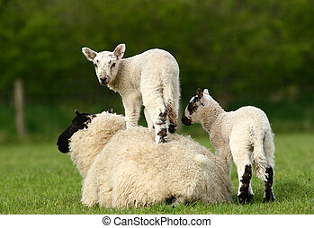 Parenting Tolerance - A sheep lying down in a field in...