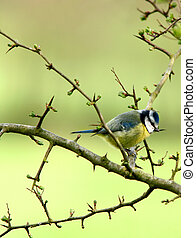 Blue Tit - A blue tit perched on a hawthorn branch in...