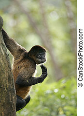 Are You Talking To Me? - Central American Spider Monkey,...