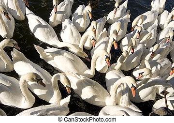 Swans, Swans, Swans - A group of swans on the River Thames,...