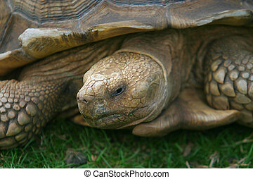 Giant Tortoise - A close up of a giant Galapagos tortoise
