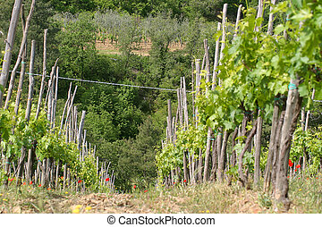 Tuscan Vineyard - Rows of grape vines grace the hills of a...