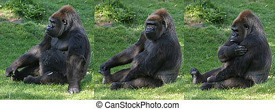 Gorilla, sitting in grass