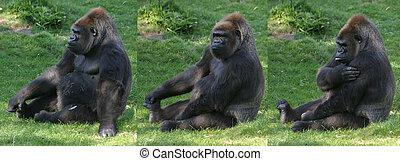 Gorilla, sitting in grass
