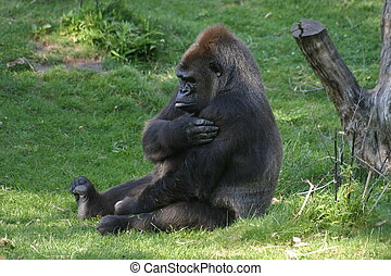 Gorilla, sitting on grass