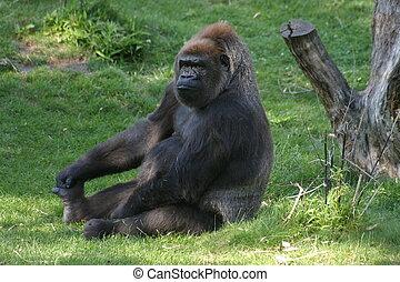 Gorilla, sitting on grass