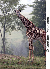 Full body shot of a Giraffe - Full body shot of an adult...