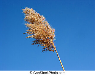 Dry reed flower grass
