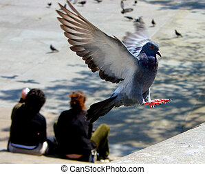 Pigeon landing - Pigeon coming in to land in Trafalgar...