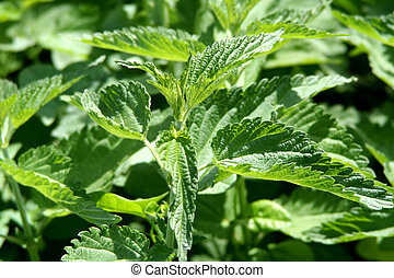 Stinging nettles - Digital photo of stinging nettles