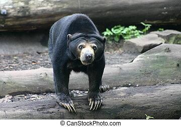 Malayan Sun bear in a zoo