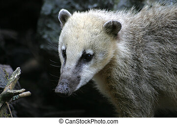 Coati - Adult coati in a zoo