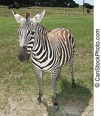 A Grant\\\'s Zebra - This is a Grant\\\'s Zebra
