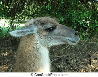Guanaco-2 - This is a Guanaco. Guanaco are said to protect...