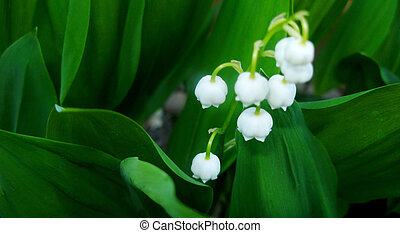 Lily of The Valley My garden in Edmonton, Alberta