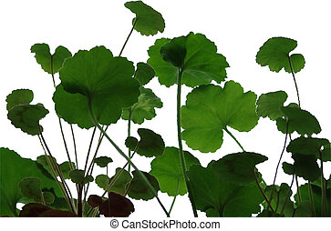 Geranium leaves - Isolated geranium leaves ornament