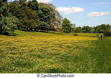 Buttercup meadow - Thousands of buttercups in a rural...