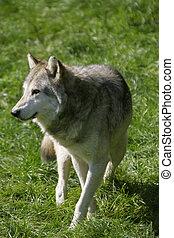 Wolf - A Canadian grey wolf