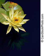 Bee Feast - Waterlily and bee on dark blue background, faint...