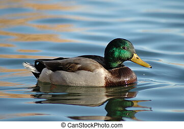 Mallard - Beautiful male Mallard on water, in the wild.