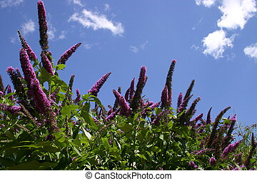 Buddleia Davidii - The butterfly bush Buddleia Davidii...