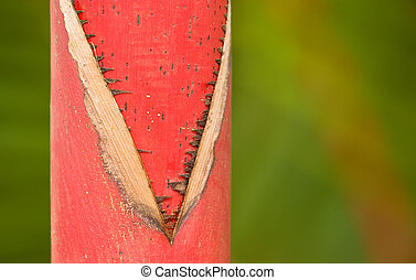 Red Trunk, Sealing Wax Palm, Hoomaluhia Botanical Gardens -...