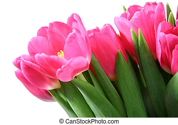 Tulips - Pink tulips on white background