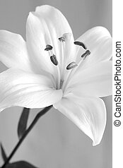 white lily - a white lily in black and white