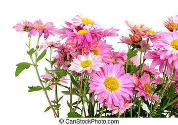 chrysanthemums  - pure white background
