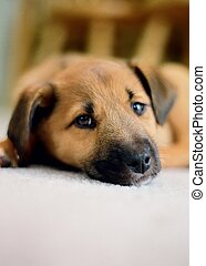 Sad eyes - A side glance from a tired puppy with copy space.