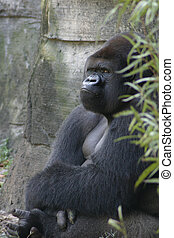 Grumpy Gorilla - Male silverback with crossed arms and feet...