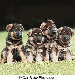 Four puppies - Four pure breed german shepherd dog puppies...