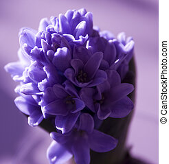 hyacinth - purple hyacinth