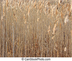 Dry winter reeds - Dry brown winter reeds