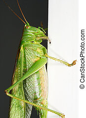 Grasshopper - Heuschrecke - detail of a grasshopper -...