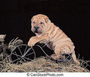 Sharpei puppy posing on a bike in a studio for a calendar...