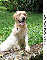 Dog and puppy - Pure breed adult labrador retriever with his...