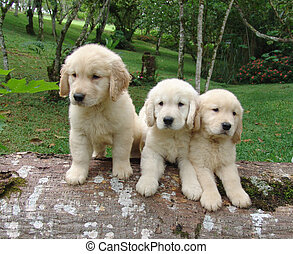 Three golden puppies - Three pure breed golden retriever...