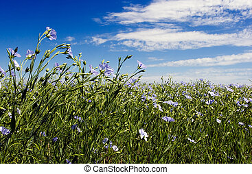 Flax - Blue sky and blue flax flowers