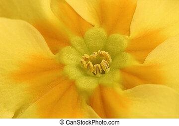 Primrose Macro - Macro of yellow Primrose Primula