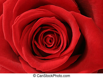 Symmetry - Macro of red rose