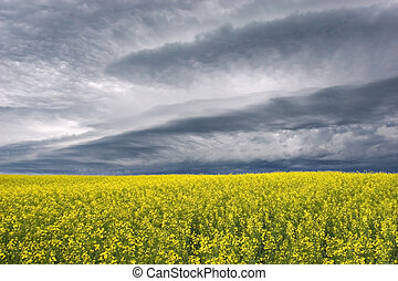 Storms Coming - Stormclouds over canola fields