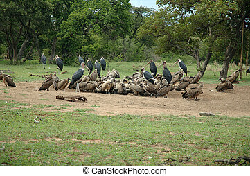 Vultures at their prey