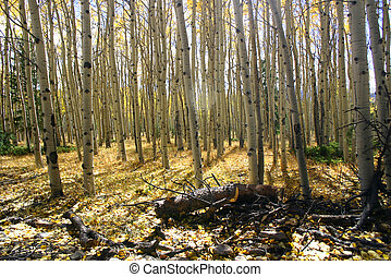 Aspen Meadow - Thick groves of aspens in the fall.